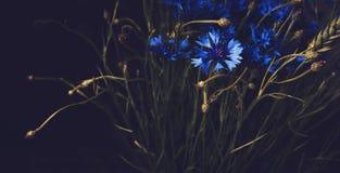 Piękni błękitni chabrowi kwiaty na czarnym tle streszczenie kwiecisty Sztuka piękna styl Okwitnięcia lata botaniczni elementy Roc Obraz Stock