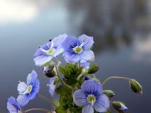 Piękni błękitni dzicy kwiaty, Lithuania obraz royalty free