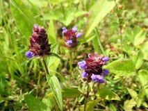 Piękni błękitni dzicy kwiaty w łące, Lithuania zdjęcie stock