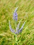 Piękni błękitni dzicy kwiaty w łące, Lithuania obraz stock