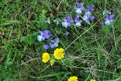 Piękni błękitni kwiaty góra Fotografia Royalty Free