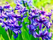 Piękni błękitni kwiaty hiacynt Fotografia Royalty Free