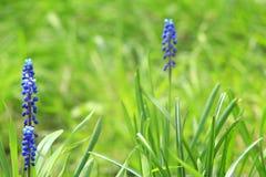 Piękni błękitni kwiaty muscari Zdjęcie Royalty Free