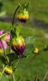 Piękni Barwioni kwiatów pączki Obraz Stock