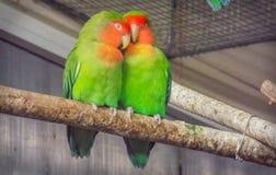 Piękni barwioni pary papugi kochankowie zdjęcia royalty free