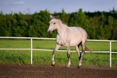 Piękni białego konia bieg kłusują w padoku Zdjęcie Royalty Free