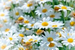 Piękni białych stokrotek kwiaty obraz stock