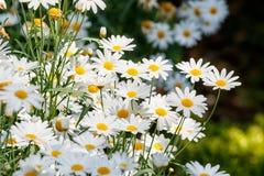 Piękni białych stokrotek kwiaty zdjęcia stock