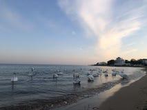 Piękni biali łabędź na seashore na zmierzchu tle zdjęcie royalty free