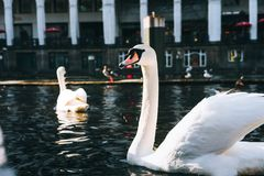 Piękni biali łabędź pływa na Alster rzecznym kanałowym pobliskim urzędzie miasta w Hamburg Fotografia Royalty Free