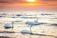 Piękni biali łabędź pływa w oceanie przy wschodu słońca zmierzchem Obrazy Royalty Free