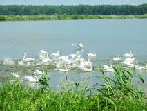 Piękni biali łabędź w małym jeziorze, Lithuania obrazy stock
