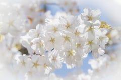 Piękni biali czereśniowi okwitnięcia lub Sakura Obrazy Stock