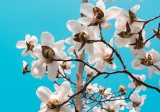 Piękni biali i różowi okwitnięcia przeciw niebieskiemu niebu obraz royalty free