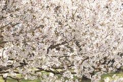 Piękni biali Japońscy czereśniowi okwitnięcia Zdjęcie Royalty Free
