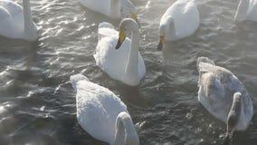 Piękni biali kokluszowi łabędź zdjęcie wideo