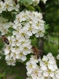 Pi?kni biali kwiatostany z okr??a? pszczo?y zdjęcie stock