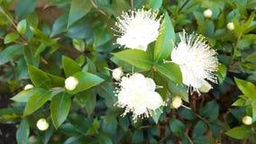 Piękni biali kwiaty na wiosna krzaku Wiosny kwiecenie zdjęcie wideo