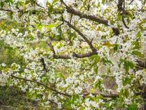 Piękni biali kwiaty w drzewie w wiośnie zdjęcia royalty free
