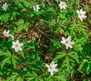 Piękni biali kwiaty w lasowym anemonie fotografia royalty free