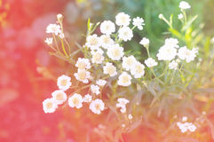Piękni biali kwiaty w ogródzie Zdjęcie Royalty Free