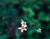 Piękni biali kwiaty w to samo gałąź obraz stock