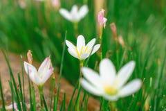 Piękni biali kwiaty z zielonym bagażnikiem jako tło przy Mo zdjęcie stock