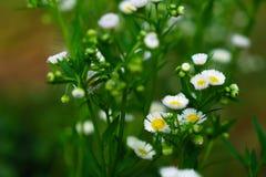 Piękni biali kwiaty z zielonym bagażnikiem jako tło przy Mo obrazy stock