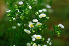 Piękni biali kwiaty z zielonym bagażnikiem jako tło przy Mo obrazy royalty free