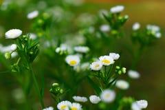 Piękni biali kwiaty z zielonym bagażnikiem jako tło przy Mo zdjęcia royalty free
