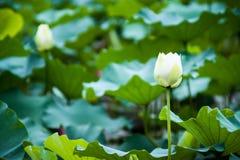 Piękni biali lotosowego kwiatu wizerunki obrazy royalty free
