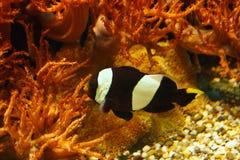 Piękni biali Ocellaris clownfish Amphiprion ocellaris, także znać jako błazenu anemon w ich siedlisku obraz royalty free