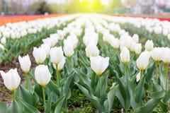Piękni biali tulipany przy środkiem lata lub wiosny dnia lan Zdjęcie Royalty Free
