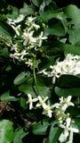 Piękni Biali Wildflower grona zdjęcia royalty free