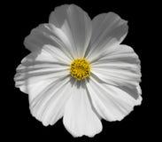 Piękni bielu ogródu kosmosy kwitną z koloru żółtego centrum obraz royalty free