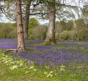 Piękni Bluebells w Kornwalijskim lesie obraz stock