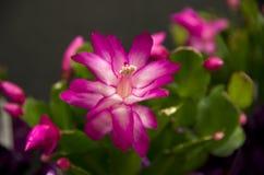 Piękni Bożenarodzeniowego kaktusa purpur kwiaty Fotografia Stock