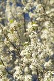 Piękni Bradford bonkrety drzewa kwiecenia okwitnięcia kwitną na kolorowym wiosna dniu z białym niebieskiego nieba tłem i płatkami Fotografia Stock