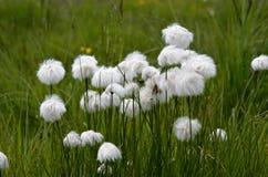 Piękni cottograss na zielonym lato paśniku Obrazy Royalty Free