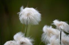 Piękni cottograss na zielonym lato paśniku Obraz Stock