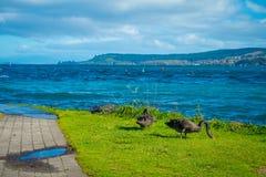 Piękni czarni łabędź na Taupo jeziorze, Nowa Zelandia, Północna wyspa w słonecznym dniu Obraz Stock