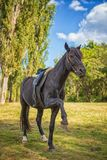 Piękni czarni koni stojaki na swój tylnych nogach w naturze zdjęcia stock