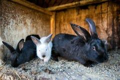 Piękni czarny i biały króliki Zdjęcie Royalty Free