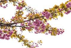Orientalna wiśnia Obrazy Stock