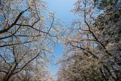 Piękni czereśniowi okwitnięcia przy Hirosaki parkiem, Aomori, Tohoku, Japonia w wiośnie Zdjęcie Royalty Free