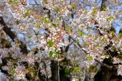 Piękni czereśniowi okwitnięcia przy Hirosaki parkiem, Aomori, Tohoku, Japonia w wiośnie Fotografia Stock