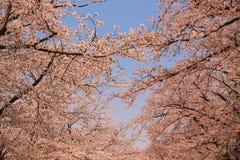 Piękni czereśniowi okwitnięcia przy Hirosaki parkiem, Aomori, Tohoku, Japonia w wiośnie Obrazy Stock