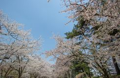 Piękni czereśniowi okwitnięcia przy Hirosaki parkiem, Aomori, Tohoku, Japonia w wiośnie Obrazy Royalty Free