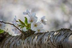 Piękni czereśniowi okwitnięcia przy Hirosaki parkiem, Aomori, Tohoku, Japonia w wiośnie Obraz Royalty Free