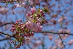 Piękni czereśniowi okwitnięcia przy Hirosaki parkiem, Aomori, Tohoku, Japonia w wiośnie Obraz Stock